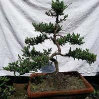 Bonsai Plant 01