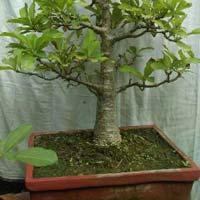 Bonsai Plant 03