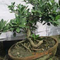 Bonsai Plant 09