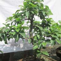Bonsai Plant 11