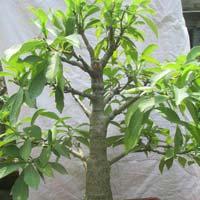 Bonsai Plant 15