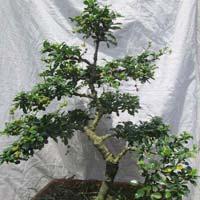 Bonsai Plant 16