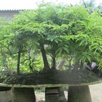 Bonsai Plant 17
