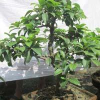 Bonsai Plant 18