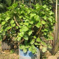Bonsai Plant 20