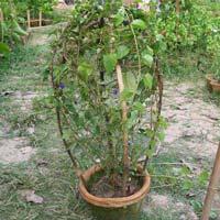 Climber Plant 01