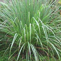 Lemon Grass