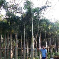 Palm Wodyetia Bifurcata