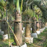 Sampian Palm