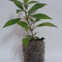 Sapling Plant 02