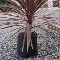 Cordyline Red Star Plant