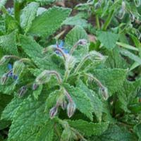 Borage Leaf