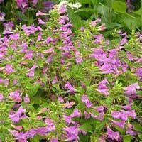 Calamintha Flower
