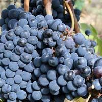 Fresh Anab-E-Shahi Grapes