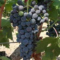 Fresh Kishmish Chorni Grapes