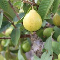 Fresh L-49 Guava