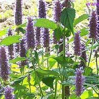 Hyssopus Plant