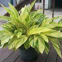Alpinia Indoor Plant