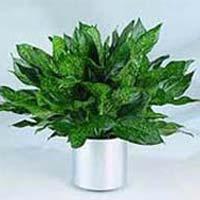 Earnest Indoor Plant