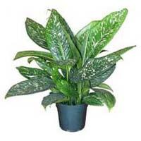 Parrot Indoor Plant