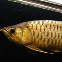 Crossback Golden Arowana Fish