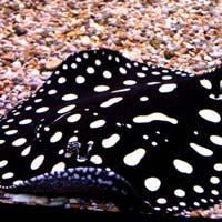 Black Diamond Stingray Fish