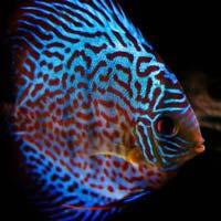 Discus Cichlid Fish