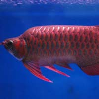 Super Red Arowana Fish