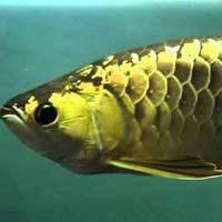 Panda Gold Arowana Fish