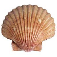 Suger Shell