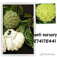 Custard Apple Plant