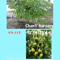 Thai Amra Plant