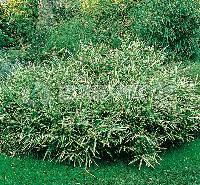 Bambusa Variegata