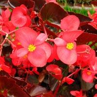Begonia Spp
