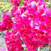 Bougainvillea Spp