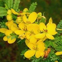 Cassia Biflora