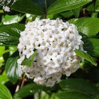 Fragrant Flowering Shrub