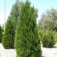 Juniperus Chinensia