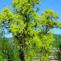 Salix Tetrasperma