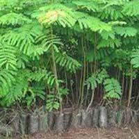 Timber Plants