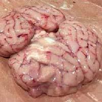 Frozen Beef Brain