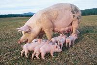 Yorkshire Pig 02