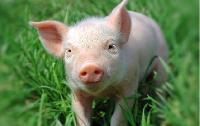 Yorkshire Pig 04