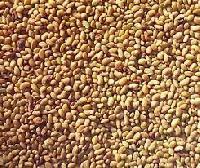Alfalfa Seed 01