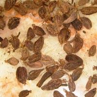 Big Cardamom (N.C. Gold)