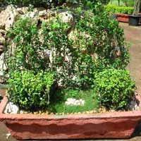 Ficus Arrangement 02