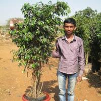 Ficus Blackiana