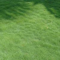 Korean Grass