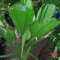 Pichodia Palm