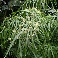 Umbrella Grass